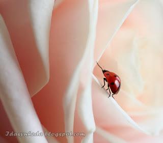 Jom Tengok Ladybugs Yang Comel