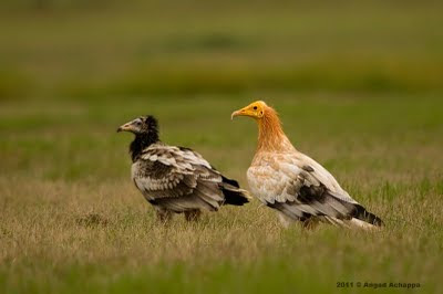 adult and juvenile egyptian vulture