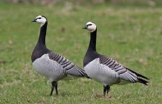 Bebek hias barnacle goose