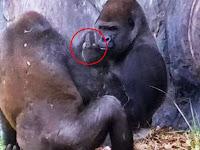 Heboh Gorila Acungkan Jari Tengah