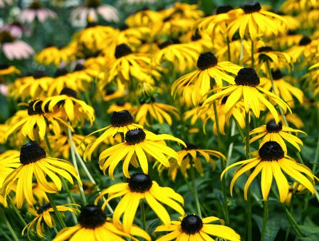 bunch of black eyed susans image
