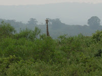 giraffe in Arusha Park Tanzania