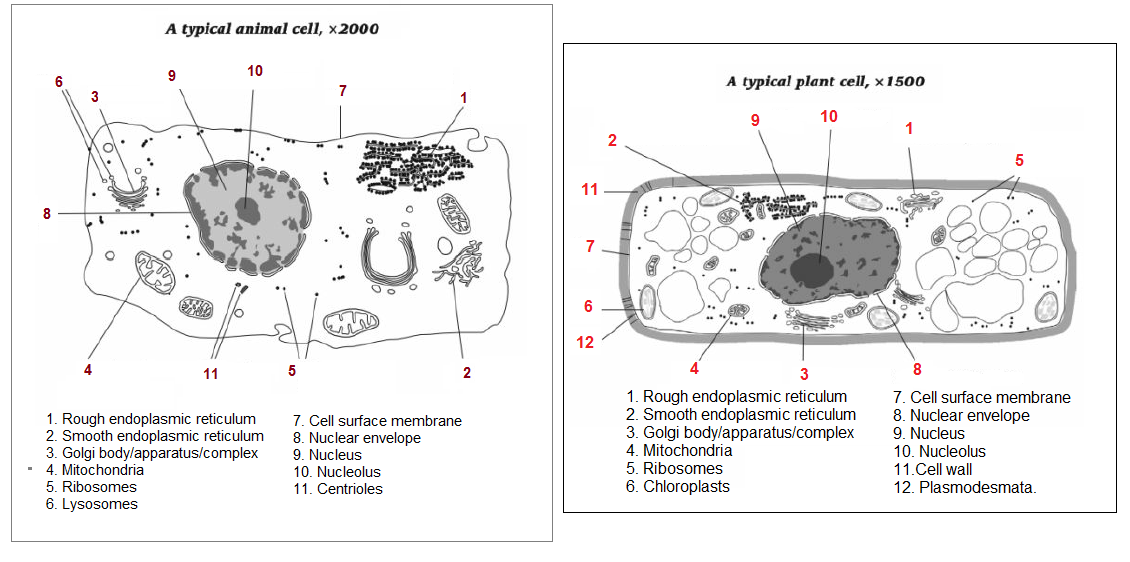 4 cell structure and function biology notes for a level typical animal and plant cells as seen using an electron microscope ccuart Image collections
