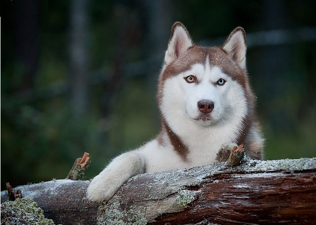 Most beautiful dog breed - photo#15