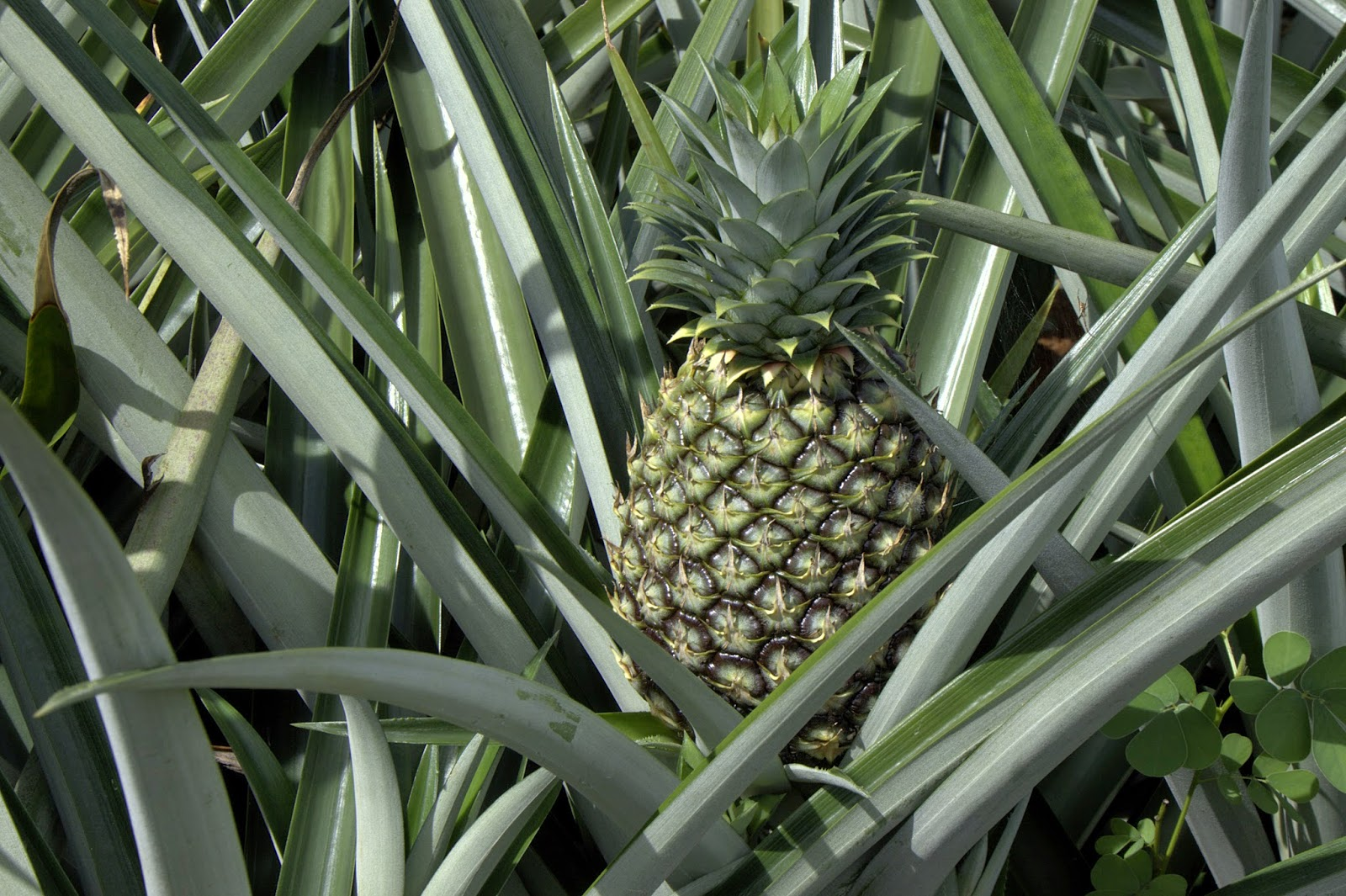 Benefits And Nutrition Of Pineapple (Ananas Comosus) Fruit For Health