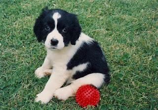 English Springer Spaniel Puppy Picture