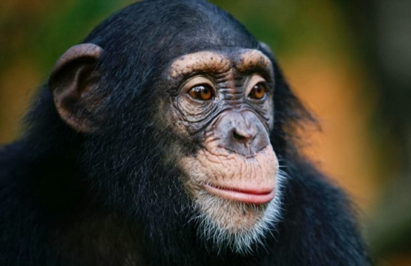 Society: Group seeks 'personhood' for 4 chimps in US