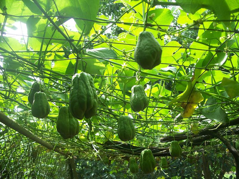 how to grow chokos vine