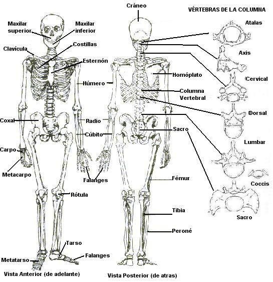 Sistema Osteo-artro-muscular | Biología.