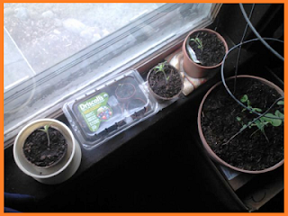 In a line: tomato sprout in pot, rectangular clear plastic container, tomato sprouts in two more pots.  Larger pot with a tomato cage holding three pea plants sits on a box just behind the sill.