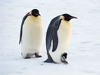 arctic penguins pair normal (48)