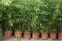 Bamboo Nurseries