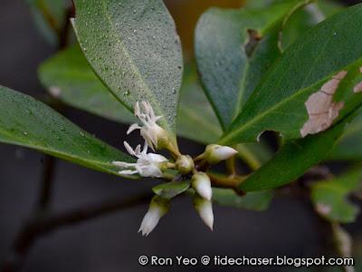 Kacang-kacang (Aegiceras corniculatum)