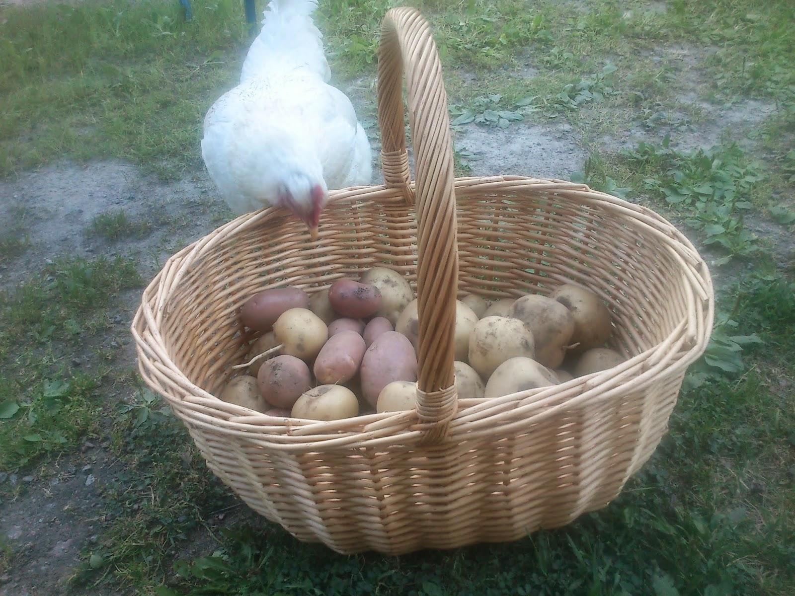 Hedemorahöns, höns, potatis, potatisodling, skaffa höns, hedemora