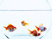 #6 Goldfish Wallpaper