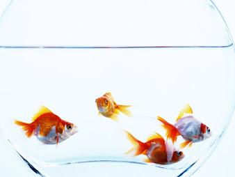 #6 Goldfish Wallpaper