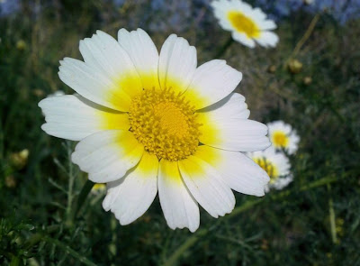 Margarita flower or daisy