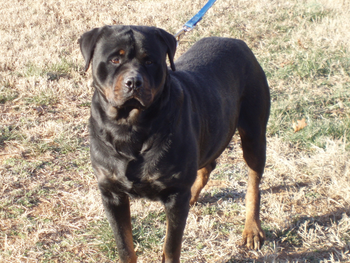 ... leasure-time-hobbies/bull-mastiff-rottweiler-cross-pups_22236647.html