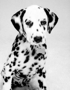 Dalmatian Puppies on Dalmatian Puppy Best Pictures   Puppy Photos Collection