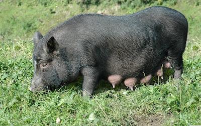 Una cerdita negra muy graciosa - Female black pig