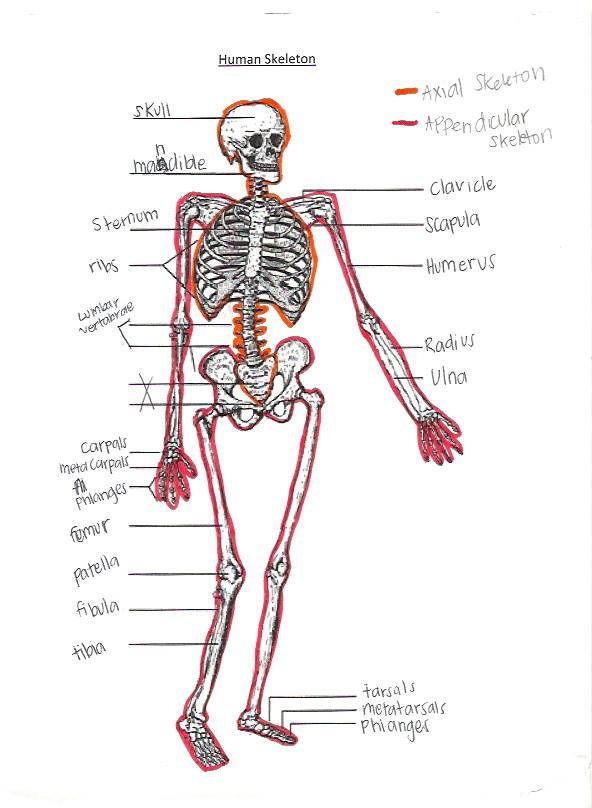 Evolution Comparison Skeletal System