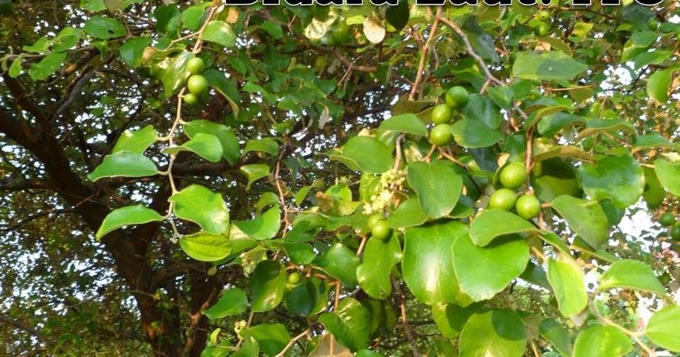 info tanaman obat khasiat dan manfaat bidara laut