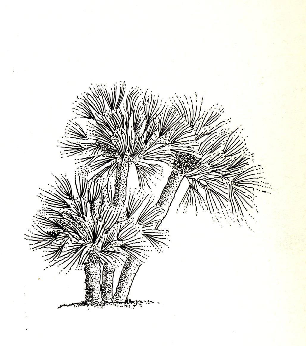 Chamaerops humilis una palma spontanea del mediterraneo for Palma di san pietro