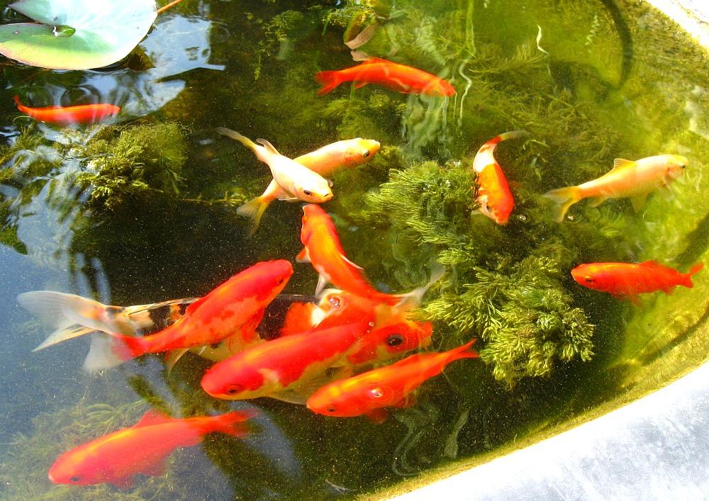 Feltsewgood in the garden for Ponds 4 fish