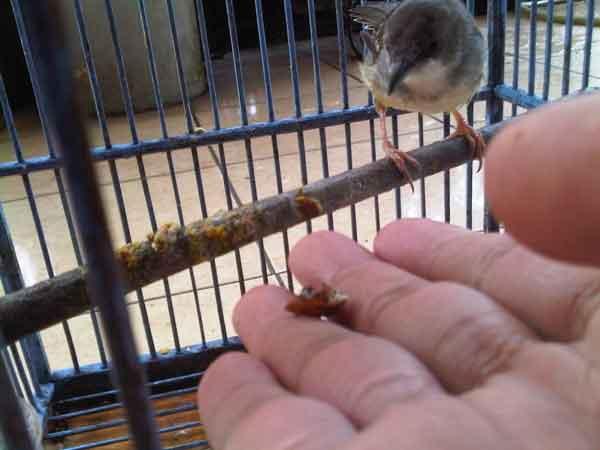 Cara Menjinakan Kolibri Wulung Dengan Makanan
