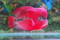 makanan, ikan louhan, cara merawat ikan louhan, cara memelihara ikan louhan, perawatan ikan louhan, ikan louhan