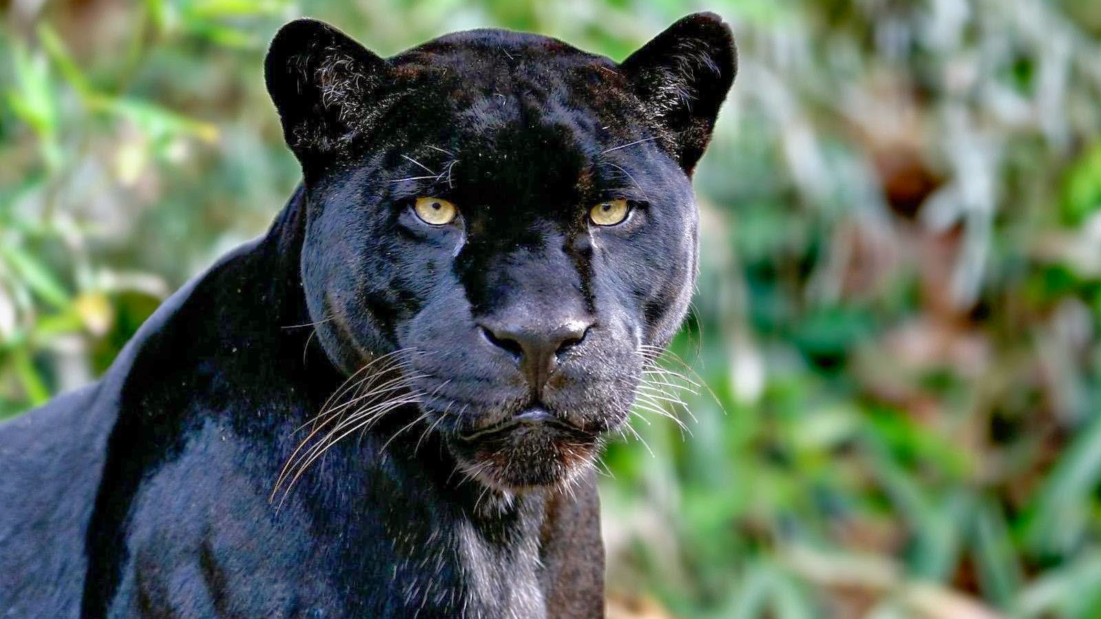 Angry black jaguar - photo#21