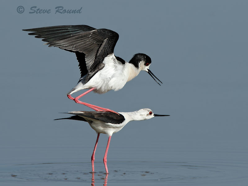 black-winged stilt, wader, bird, nature, wildlife