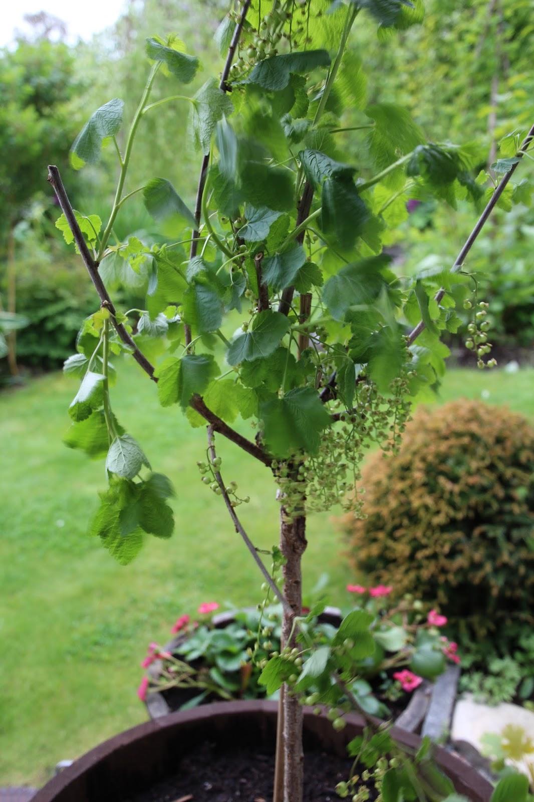 uppstammat vinbär i kruka