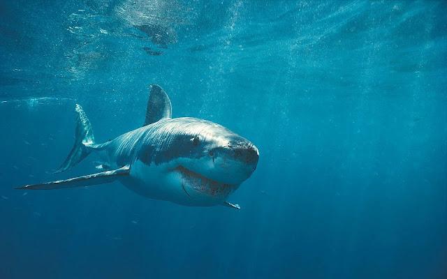 Achtergrond met gevaarlijke haai