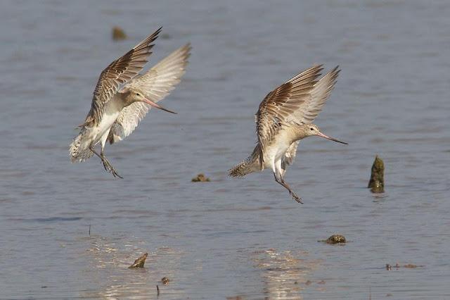 Bar-tailed Godwits