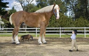 Horse Gag Video http://amazing-shorts-news.blogspot.com/2012/04/worlds-tallest-smallest-horse.html