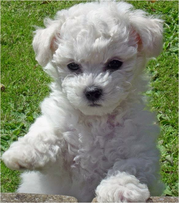Cute Bichon Frise are pup, pup, pupper loves