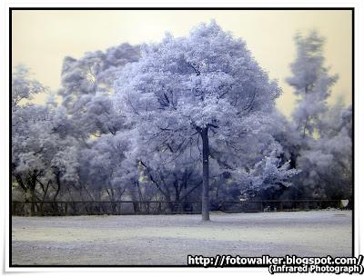 大棠紅外線 (Infrared Photograph)