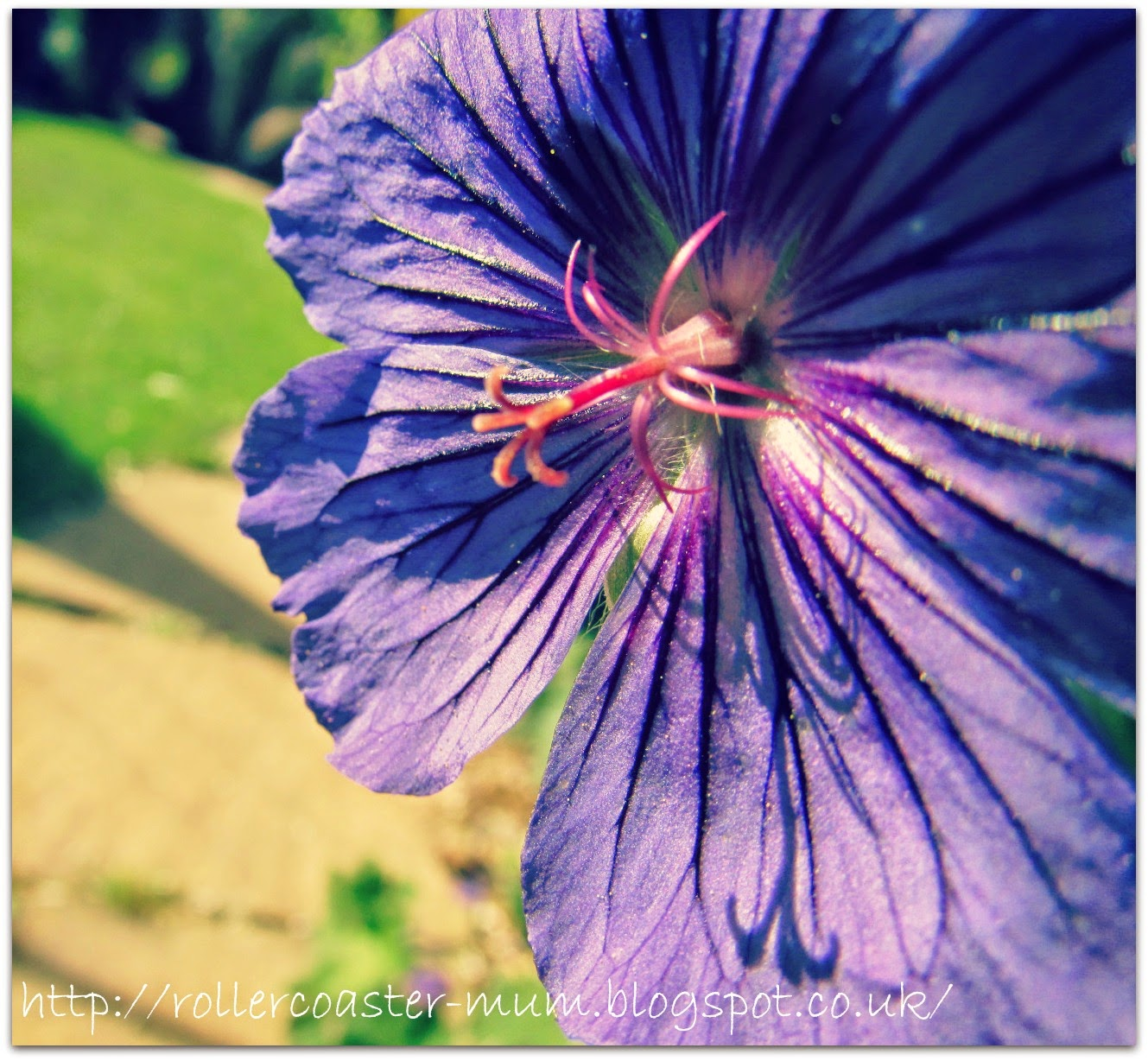 #alphabetphoto, F is for Flower, Geranium flower