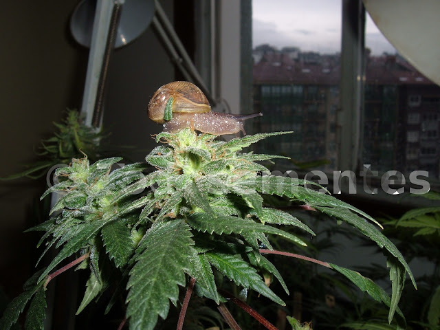 el cerebro fabrica su propia marihuana