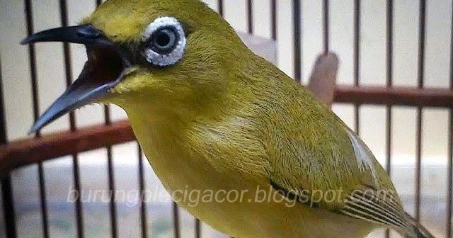 Tips Memilih Burung Pleci Ombyokan yang Bagus - All About Pleci c5201b6768