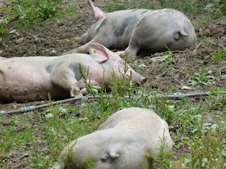 pigs sleeping