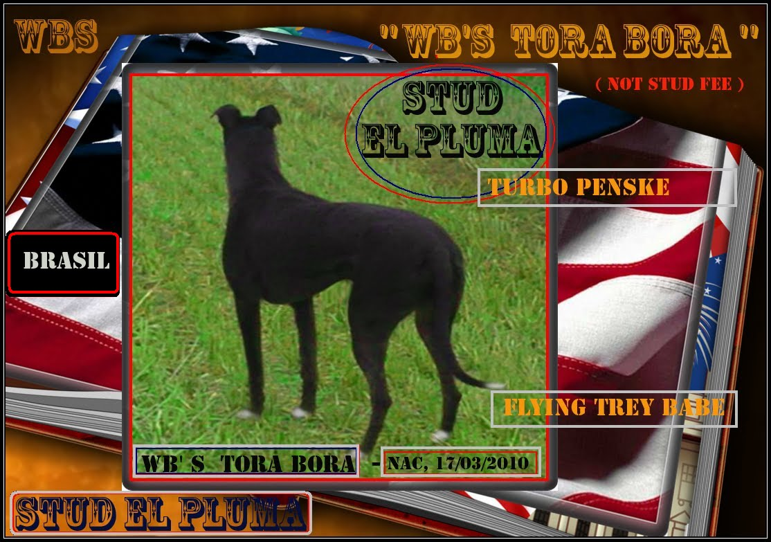 STUD EL PLUMA - NOT STUD FEE - NO VENDEMOS GALGOS