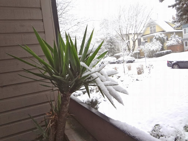 A palm tree in Vancouver covered in winter snow.