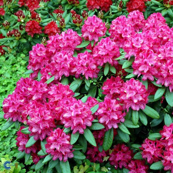 wwe wrestlers profile nova zembla rhododendron flower. Black Bedroom Furniture Sets. Home Design Ideas