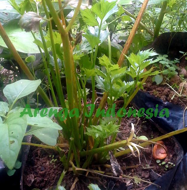memanfaatkan khasiat daun seledri