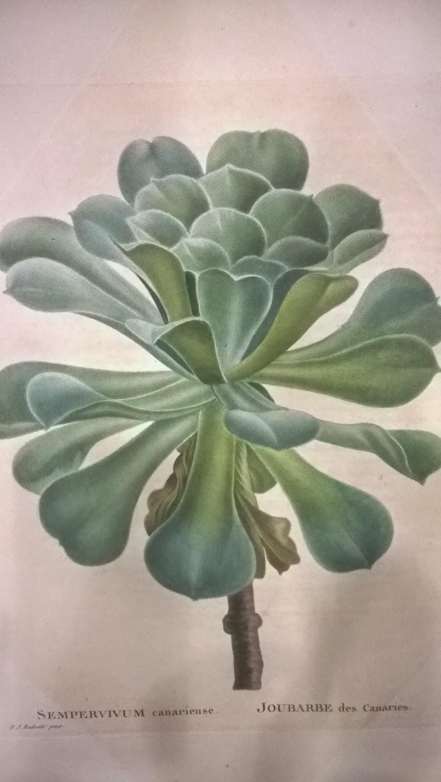 Redoute Sempervivum canariense
