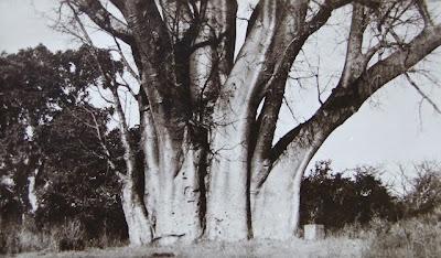 Victoria Falls Big Tree, 1950