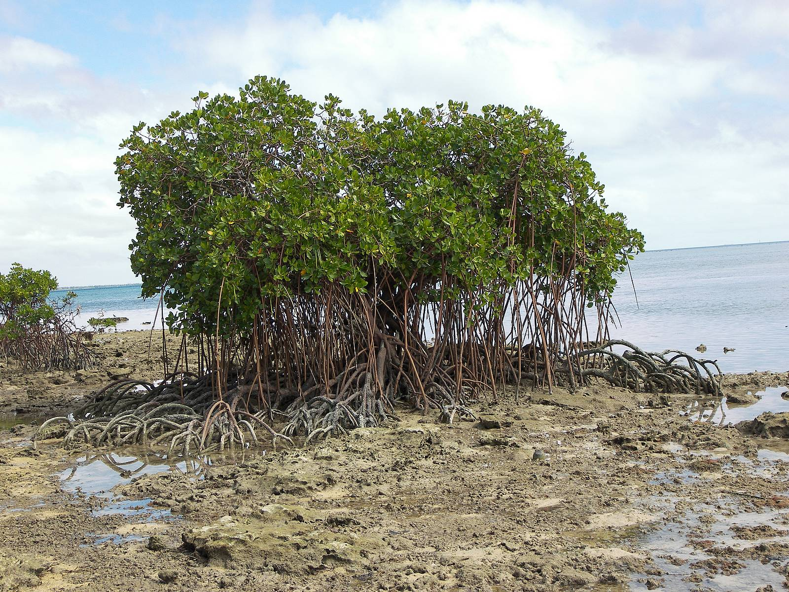 Mangrove tree wallpapers hd | Wallpapers-Wallpaper Free 3979