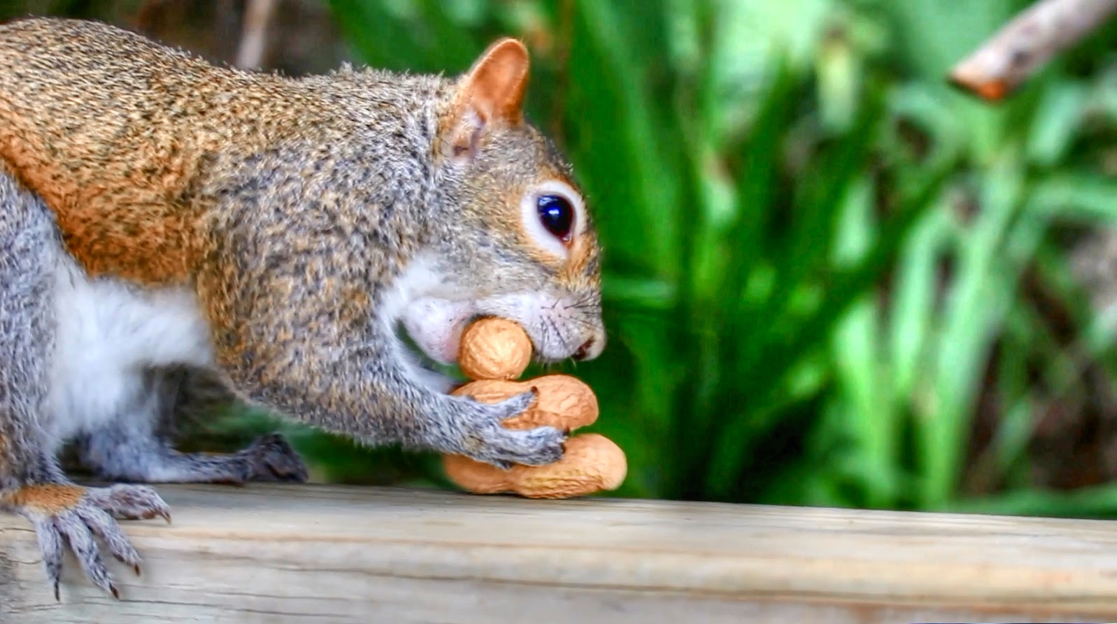Eastern Gray Squirrel with nuts